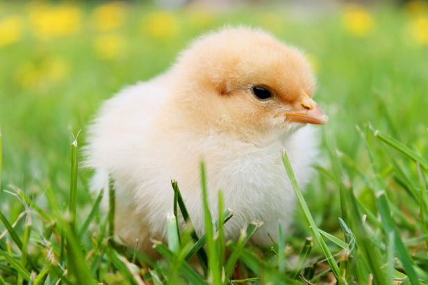 chicks-349035_1920