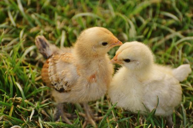 chicks-1572370_1920